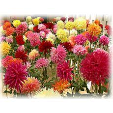 Yıldız Çiçeği Dahlia Saksıda