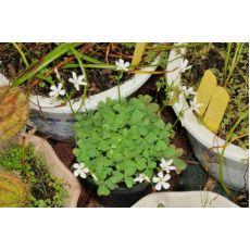 Yonca Beyaz Çiçeki Oxalis Articulata 5 Adet Fiyatımızdır