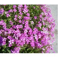Yonca Pembe Çiçeki Saksıda Oxalis Articulata