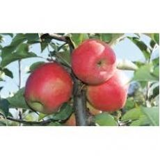 Elma Ağacı Tam Bodur Pink Lady