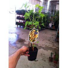Frenk Üzümü Fidanı İthal Sarı Meyveli Ribes Rubrum