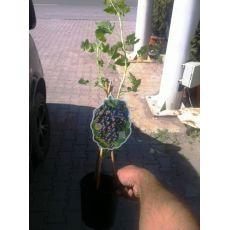 Frenk Üzümü Fidanı İthal Siyah Meyveli Ribes Rubrum