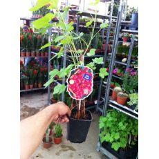 Frenk Üzümü Fidanı İthal Kırmızı Meyveli Ribes Rubrum