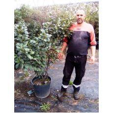 Bodur Karayemiş Laz Üzümü Ağacı Prunus Laurocerasus