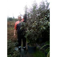 Karayemiş Laz Üzümü Ağacı Prunus Laurocerasus