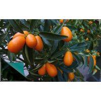 Kumkuat Fidanı Kumkat Kamkat Meyveli 40-50 Cm