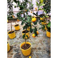 Limon Fidanı Yediveren Meyve Verir Halde 130-150 Cm