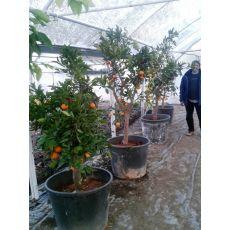Mandalina Ağacı 24-26 Cm Gövde Çevresi