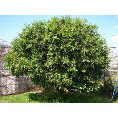 Misket Limonu Fidanı Mexican Lime 50-70