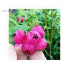 Yaban Mersini Fidanı Pink Limonade Likapa  Blueberry 70-90 Cm