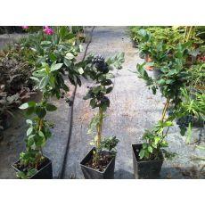 Yaban Mersini Fidanı Legacy Likapa  Blueberry 40-60 Cm