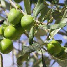 Zeytin Fidanı Ayvalık 40-60 Cm