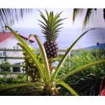 Ananas Fidanı Çeşitleri