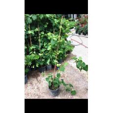 Asma Üzüm Fidanı Kokulu Laz Üzümü 140-160 Cm