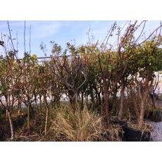 Kayısı Ağacı Şekerpare 26-28 Gövde Çevresi