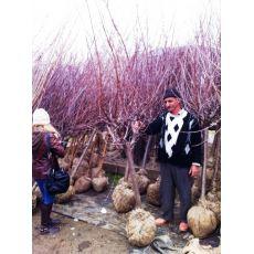 Vişne Ağacı Fidanı Kütahya 300-325 Cm