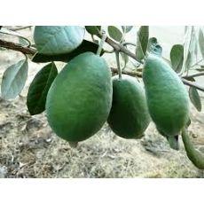 Fejyo Fidanı Kaymak Ağacı Feijoa Acca Sellowiana