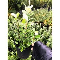 Fejyo Fidanı Kaymak Ağacı Feijoa Acca Sellowiana 3 Adet Fidan Dikilidir 25-35 Cm