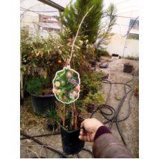 Bektaşi Üzümü İthal Ribes Kahverengi Meyveli Uva-Crispa