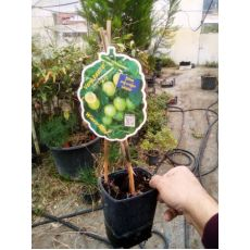 Bektaşi Üzümü İthal Yeşil Meyveli Ribes Uva-Crispa