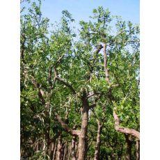 Hünnap Ağacı Ziziphus Zizyphus
