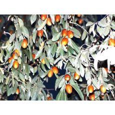 İğde Ağacı İğde Fidanı Elaeagnus angustifolia 4 Metre