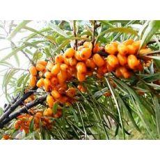 İğde Ağacı İğde Fidanı Elaeagnus angustifolia