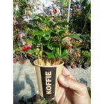 Kahve Ağacı Çeşitleri