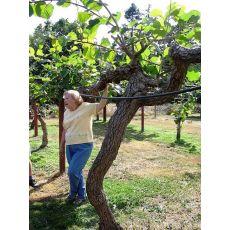 Kivi Ağacı Kivi Fidanı Dişi Hayward