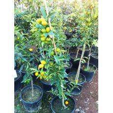 Kumkuat Kamkat fidanı Meyveli 100-120 Cm