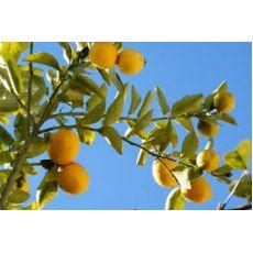 Limon Fidanı Mayer 130-150 Cm