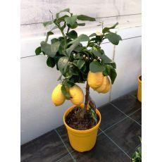 Limon Fidanı İthal