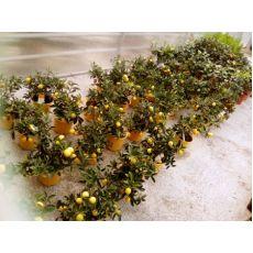 Limon Fidanı İthal 30-50 Cm