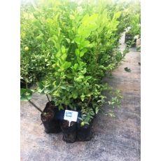 Limon Fidanı Lime Guat  100-120 Cm