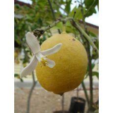limon fidanı 40-60 Cm