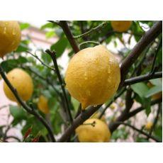 Limon Fidanı Mayer Meyve Verir Halde
