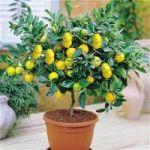 Limon Fidanı Çeşitleri