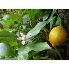 Limon Fidanı Kütdiken 60-70 Cm