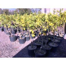 Limon Fidanı Yediveren Meyve Verir Halde 120-140 Cm