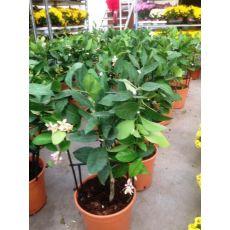 Limon Fidanı Kafese Sarılı 30-50 Cm