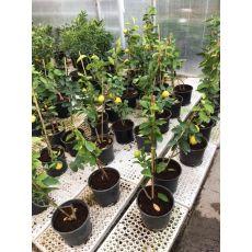 Limon Fidanı Yerli Üretim  50-70 Cm
