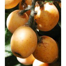 Malta Eriği Ağacı Fidanı Yenidünya Fidanı