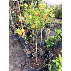 Mandalina Fidanı Meyve verir durumda 150-170 Cm