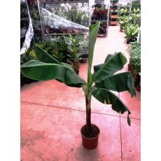 Muz Ağacı Fidanı 120-140 Cm
