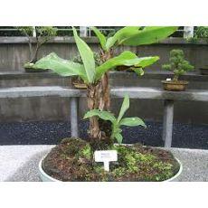 Muz Ağacı Fidanı 60-70 Cm