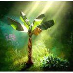 Muz Ağacı Fidanı Çeşitleri