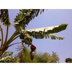 Muz Ağacı Fidanı 100-120 Cm