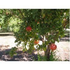 Nar Fidanı Ağacı 275-300 Cm