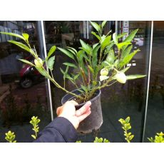Pepino Fidanı  15-20 Cm