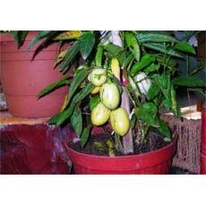 Pepino Fidanı 30-40 Cm